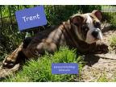 AKC English bulldog male Trent