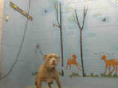 Adopt a Red/Golden/Orange/Chestnut - with White American Pit Bull Terrier /