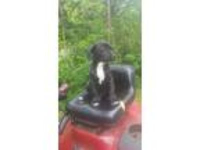 Adopt Puppy 3 a Black - with White Pit Bull Terrier / Mixed dog in Harriman