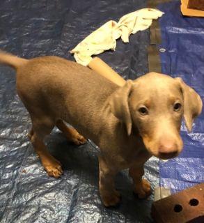 Doberman Pinscher PUPPY FOR SALE ADN-104362 - AKC Registered Doberman Puppy