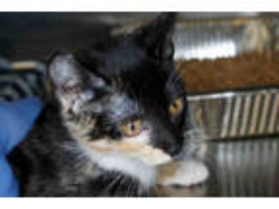 Adopt DUSTY a Black (Mostly) Domestic Shorthair / Mixed (short coat) cat in West