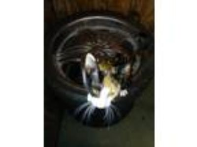 Adopt Kittens and cats a Calico or Dilute Calico Calico / Mixed cat in