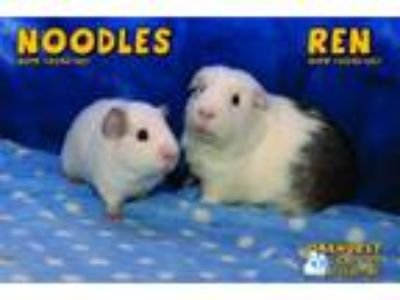 Adopt Ren and Noodles a Guinea Pig, Short-Haired