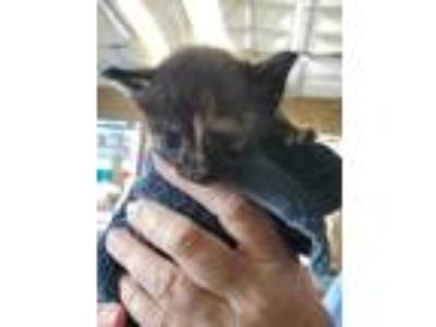 Adopt 41962778 a All Black Domestic Shorthair / Domestic Shorthair / Mixed cat