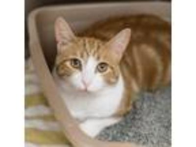 Adopt Taffy a Orange or Red Domestic Shorthair / Domestic Shorthair / Mixed cat