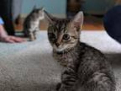 Adopt Lily a Brown Tabby Domestic Mediumhair (medium coat) cat in Hainesville