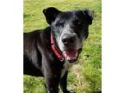 Adopt Pops a Black Labrador Retriever