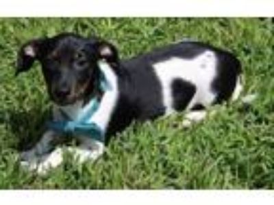 Adopt Groucho a White - with Black Dachshund / Beagle / Mixed dog in
