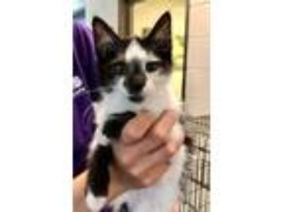 Adopt Shaggy a All Black Domestic Shorthair / Domestic Shorthair / Mixed cat in