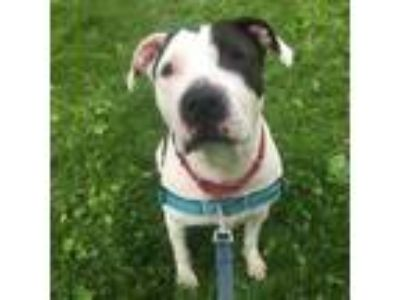 Adopt Clover a Pit Bull Terrier, Mixed Breed