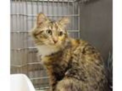 Adopt Lacy a Hemingway/Polydactyl / Mixed (medium coat) cat in Ladysmith