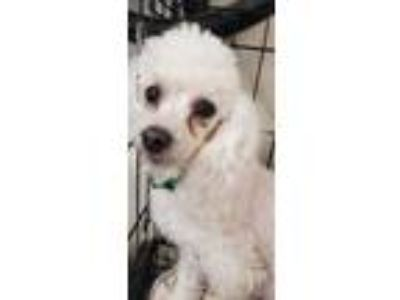 Adopt Kahlea - In Foster in Rocky Mount, NC a Poodle