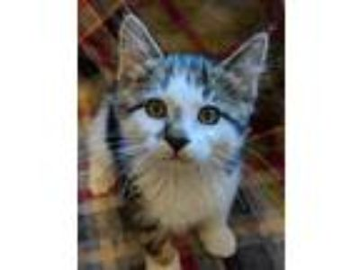 Adopt Trotsky a Domestic Short Hair, Tiger