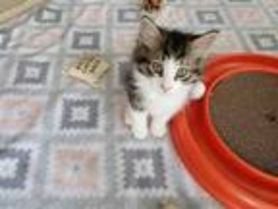 Adopt DINO a Brown Tabby Domestic Shorthair / Mixed (short coat) cat in