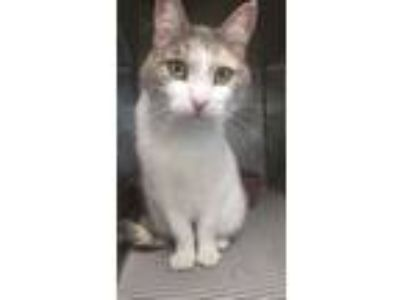 Adopt 7/11/19 Female DSH Tortoiseshell a Domestic Short Hair