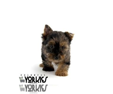 Yorkshire Terrier PUPPY FOR SALE ADN-131308 - Ali