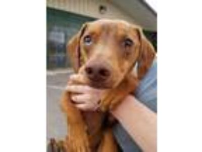 Adopt Tracker a Brown/Chocolate Beagle / Dachshund / Mixed dog in Chattanooga