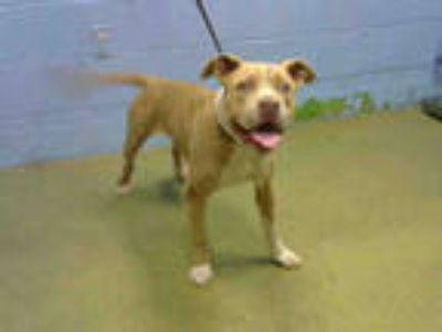 Adopt a Brown/Chocolate American Pit Bull Terrier / Mixed dog in Moreno Valley