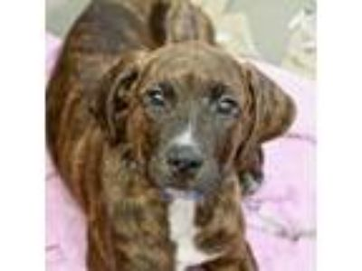 Adopt Perry a Brindle Hound (Unknown Type) / American Pit Bull Terrier / Mixed