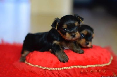 Adorable Male and Female Yorkie Puppies For New Home