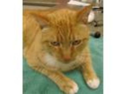 Adopt Chester a Domestic Shorthair / Mixed (short coat) cat in Novato