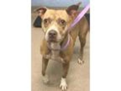 Adopt Synchrony a Red/Golden/Orange/Chestnut Mixed Breed (Medium) / Mixed dog in