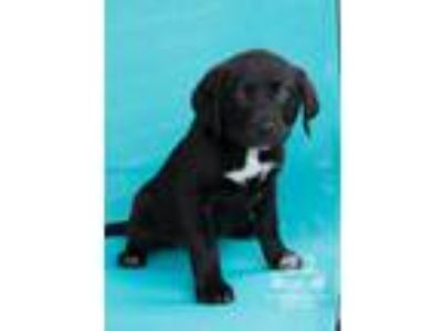Adopt Lab pups a Labrador Retriever