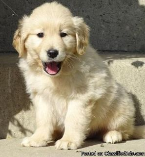 Super Adorable Golden Retriever Puppies To Loving Homes.