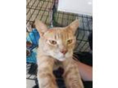 Adopt Greyson a Domestic Short Hair
