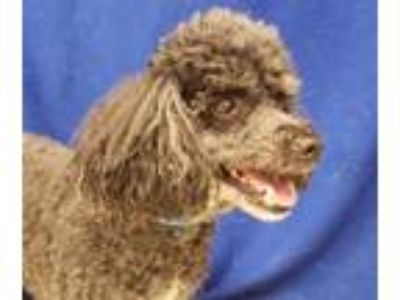 Adopt POLLY a Poodle, Dachshund