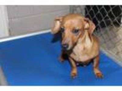 Adopt Heidi a Red/Golden/Orange/Chestnut Dachshund / Mixed dog in Albany