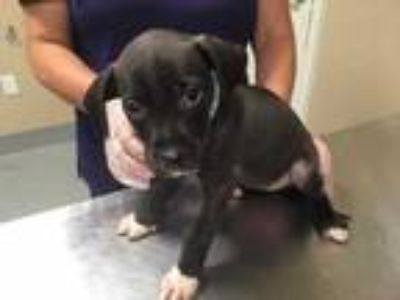 Adopt Marcia Brady 686-19 a Black American Pit Bull Terrier / Mixed dog in