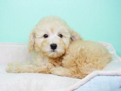 Golden doodle Puppy- Male- Jorden ($1,399)