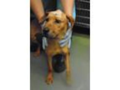 Adopt Carlie a Hound (Unknown Type) / Mixed dog in Raleigh, NC (25347549)