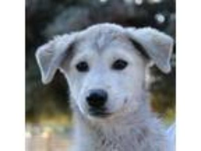 Adopt Diane a White - with Gray or Silver Shepherd (Unknown Type) / Mixed dog in