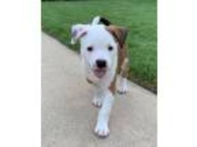 Adopt Jenny a Terrier, Boxer