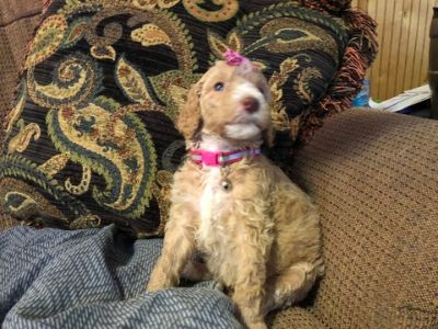 Poodle (Standard) PUPPY FOR SALE ADN-87068 - 10 Beautiful Babies