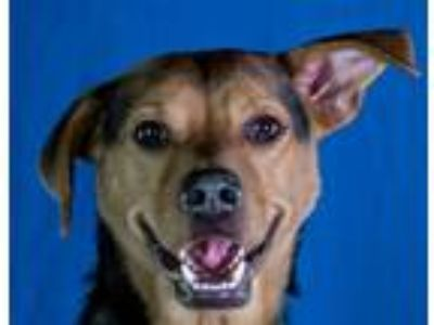 Adopt Kayn a Hound (Unknown Type) / Mixed dog in LAFAYETTE, LA (25266722)