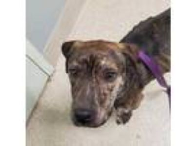 Adopt Bishop a Brindle American Pit Bull Terrier / Mixed dog in Menands