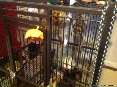 African Grey Parrots for adoption!!