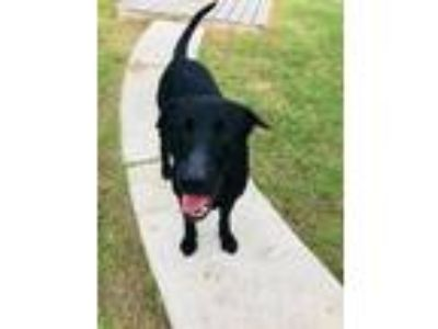 Adopt Stewart a Black Labrador Retriever / Mixed dog in Olympia, WA (23289071)