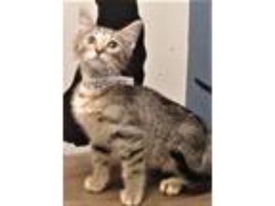 Adopt Duncan (Shorewood) a Tabby, Domestic Short Hair