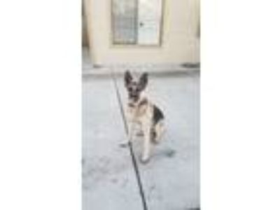 Adopt Elco a Brown/Chocolate - with Tan German Shepherd Dog / Mixed dog in Union