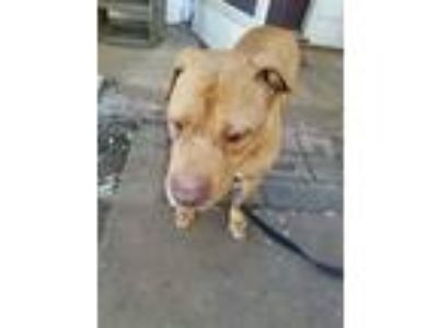Adopt Story a Red/Golden/Orange/Chestnut American Staffordshire Terrier / Mixed