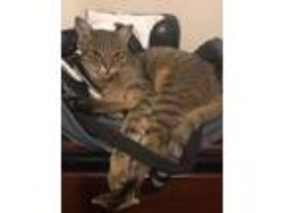 Adopt Christopher`` a Bengal, Domestic Short Hair