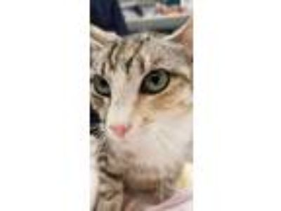 Adopt Harvest a Domestic Short Hair