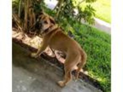 Adopt Oscar a Tan/Yellow/Fawn - with Black Golden Retriever / Boxer / Mixed dog