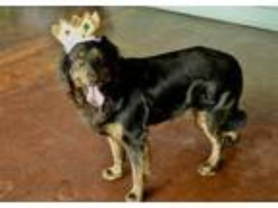 Adopt Kingston a Flat-Coated Retriever, Golden Retriever