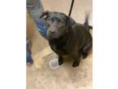 Adopt Tink Tink a Black Labrador Retriever / Mixed dog in Waxahachie