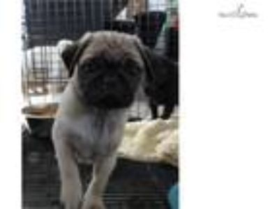 Pug puppy AKC [phone removed]